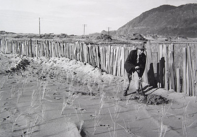 To stablize the dunes, park employees planted thousands of Scotch broom, shore pine and beach grass between 1945 and 1960. Park staff were helped by boys lodged at Camp Necarney, an outpost of Macarlen School for boys.